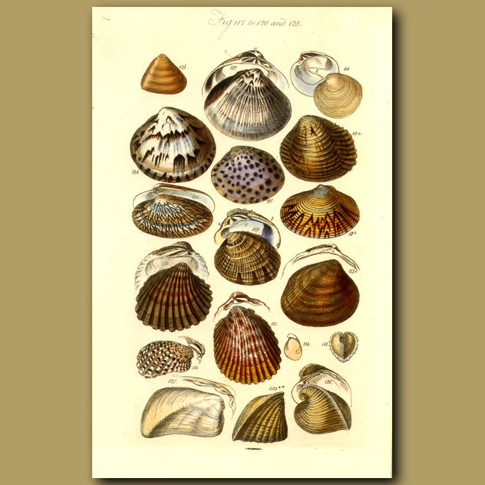 Antique print. Conchacea And Cardiacea (Heart) Shells