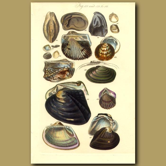 Antique print. Ark Shells