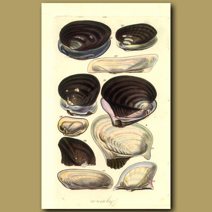 Antique print. Mussel Shells