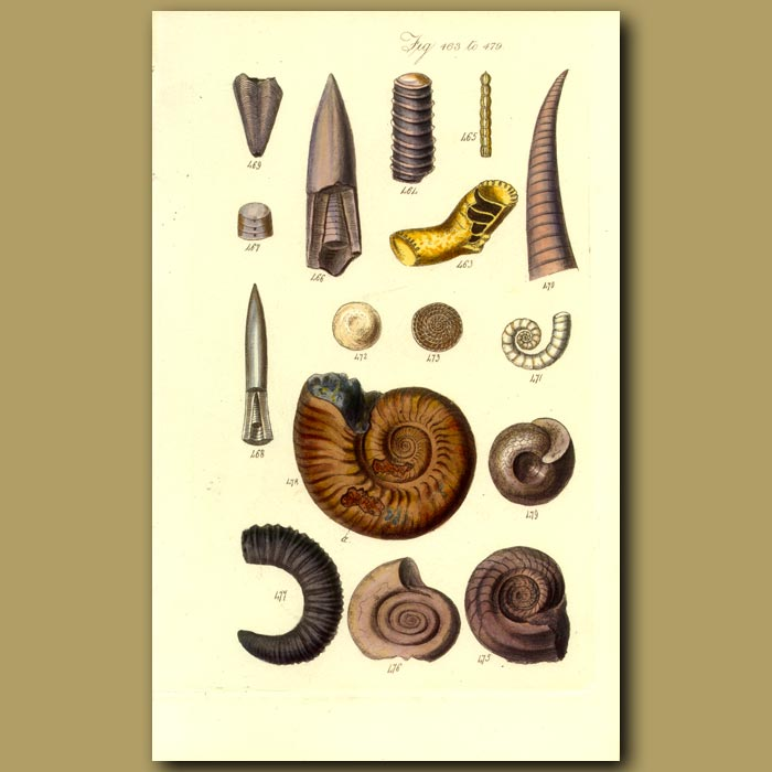 Antique print. Fossil Shells. Ammonites And Belemites