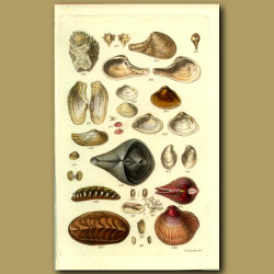Chitons And Other Shells
