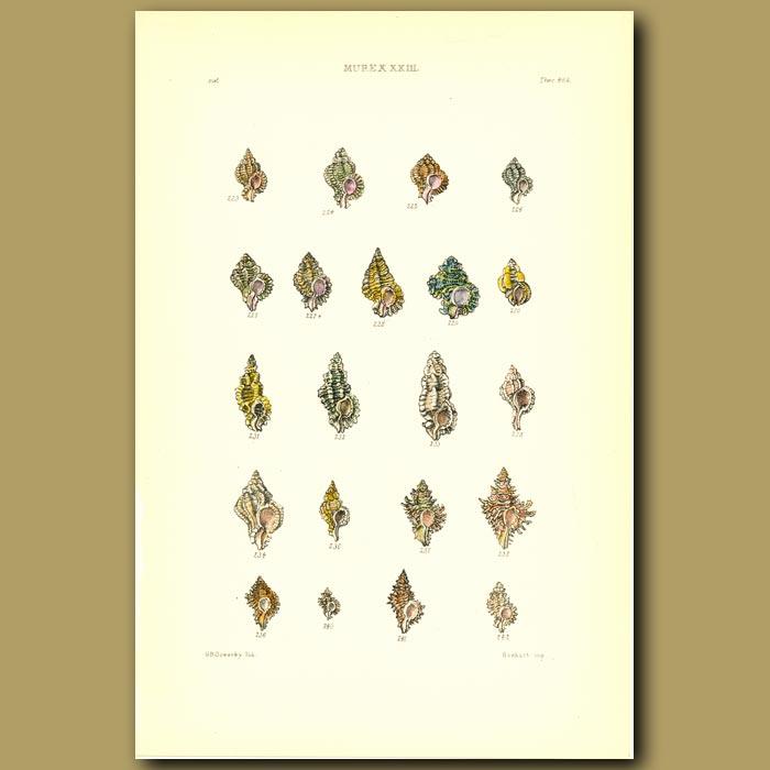 Antique print. Murex Shells