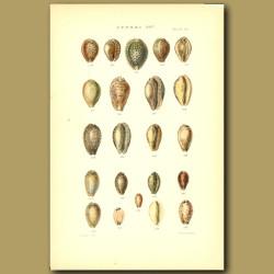Cowry Shells (Cowries)