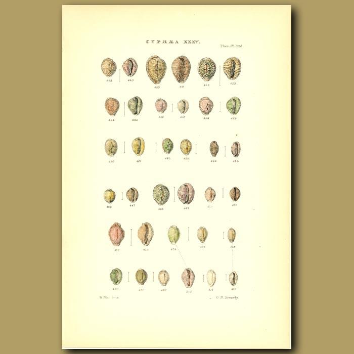 Antique print. Cowry Shells