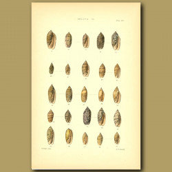 Oliva Shells