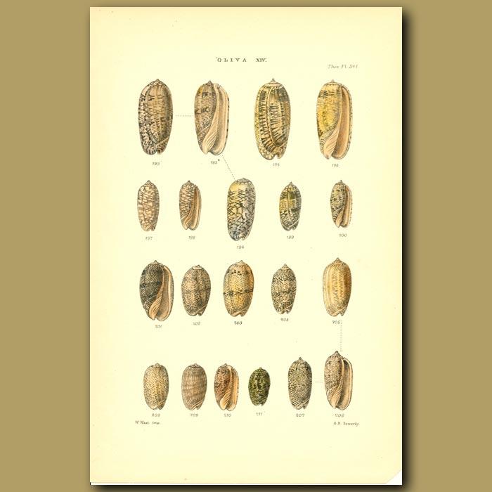 Antique print. Oliva Shells