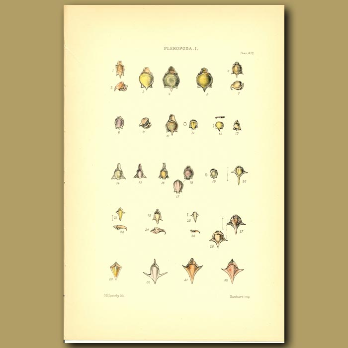 Antique print. Pleropoda Shells