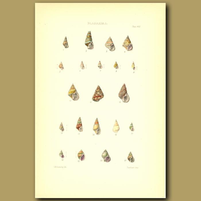 Antique print. Planaxis Shells