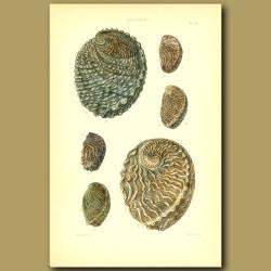 Abalone (Haliotis) Shells
