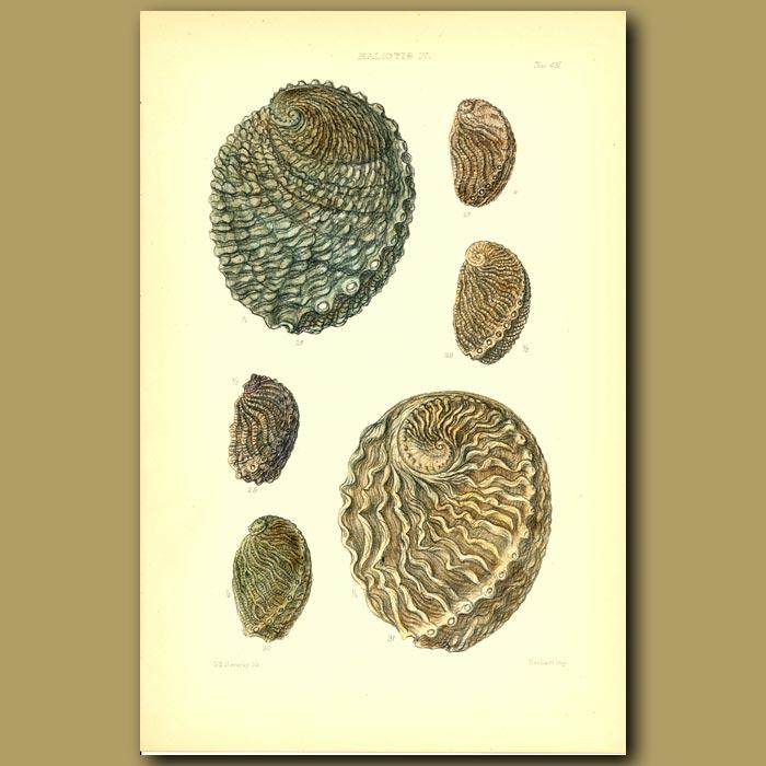 Antique print. Abalone (Haliotis) Shells