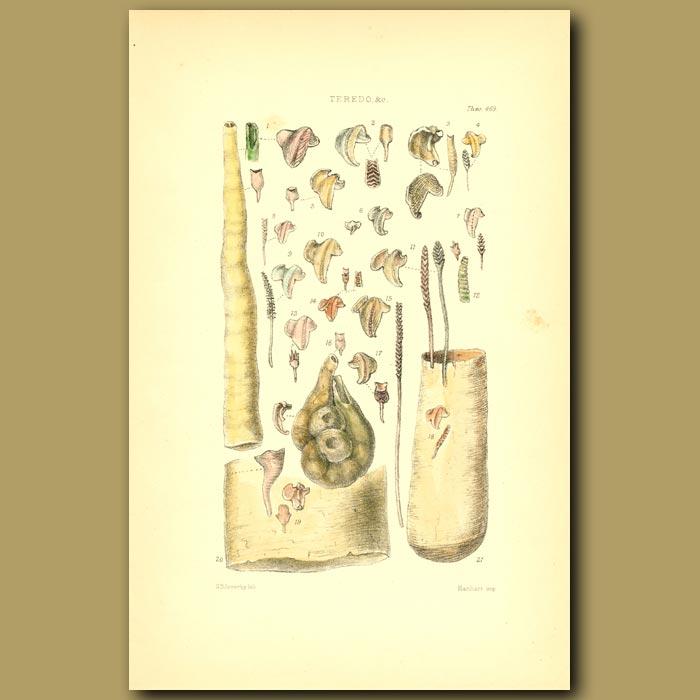 Antique print. Ships Borer Shells