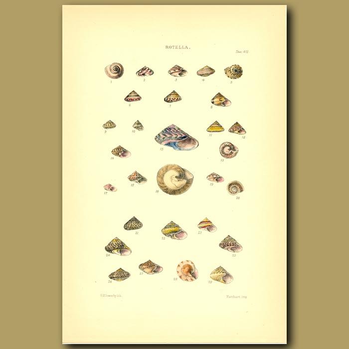 Antique print. Rotella Shells