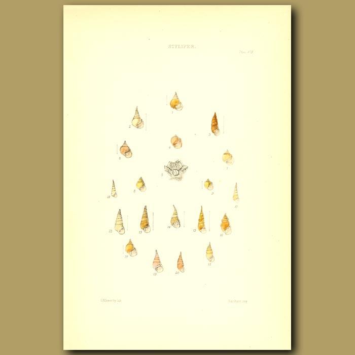 Antique print. Stylifer Shells