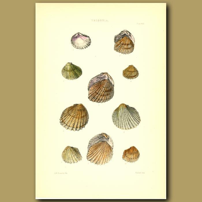 Antique print. Trigonia Shells