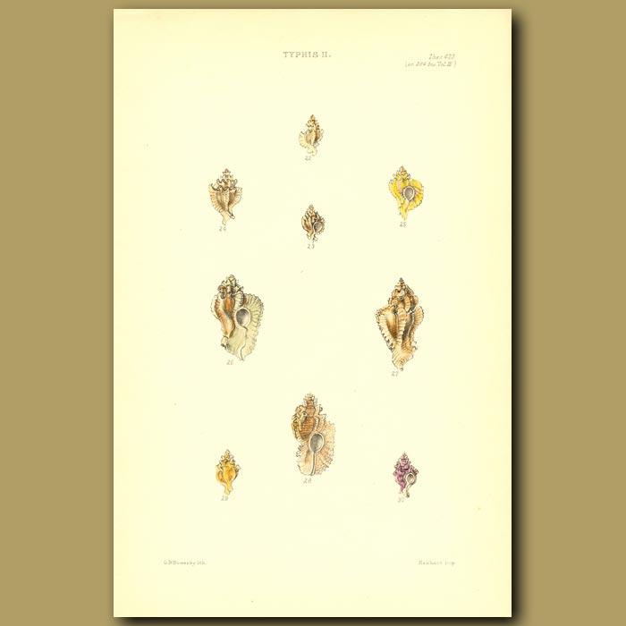 Antique print. Typhis Shells