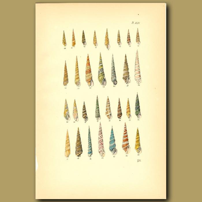 Antique print. Auger Shells