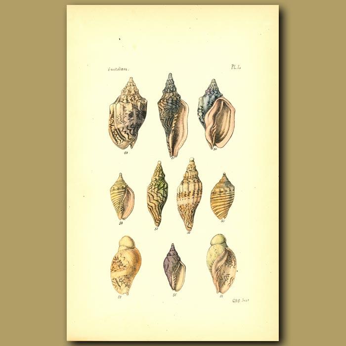 Antique print. Volute Shells