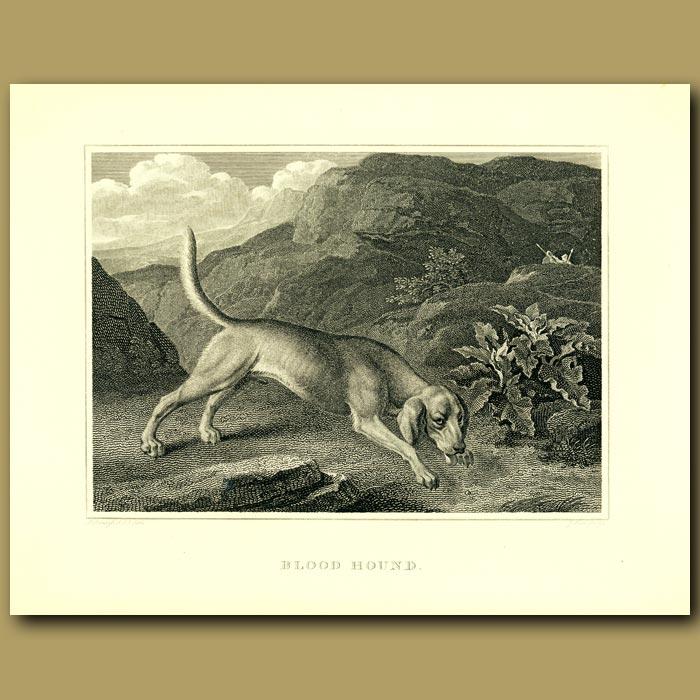 Antique print. Bloodhound