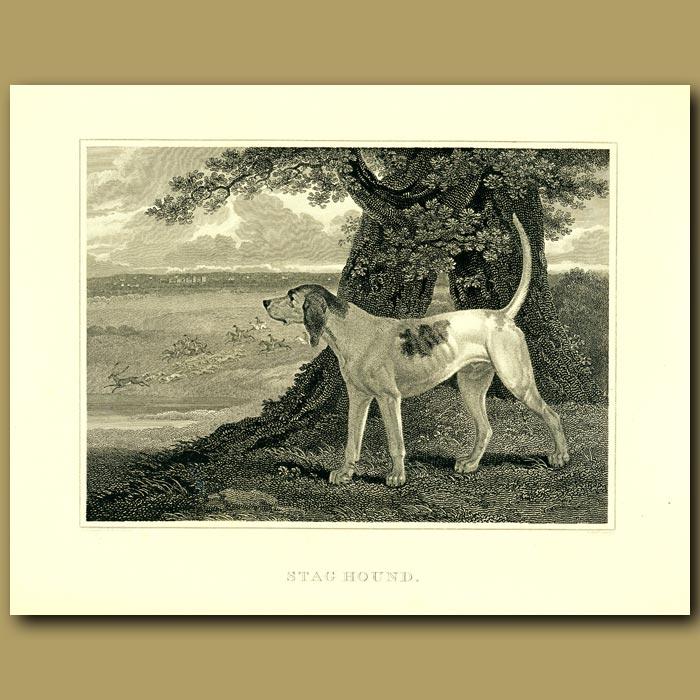 Antique print. Stag Hound