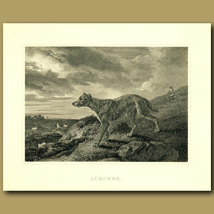 Antique print. Lurcher