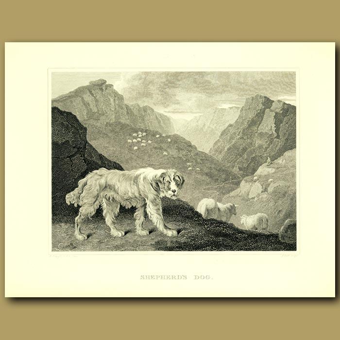 Antique print. Shepherd's Dog