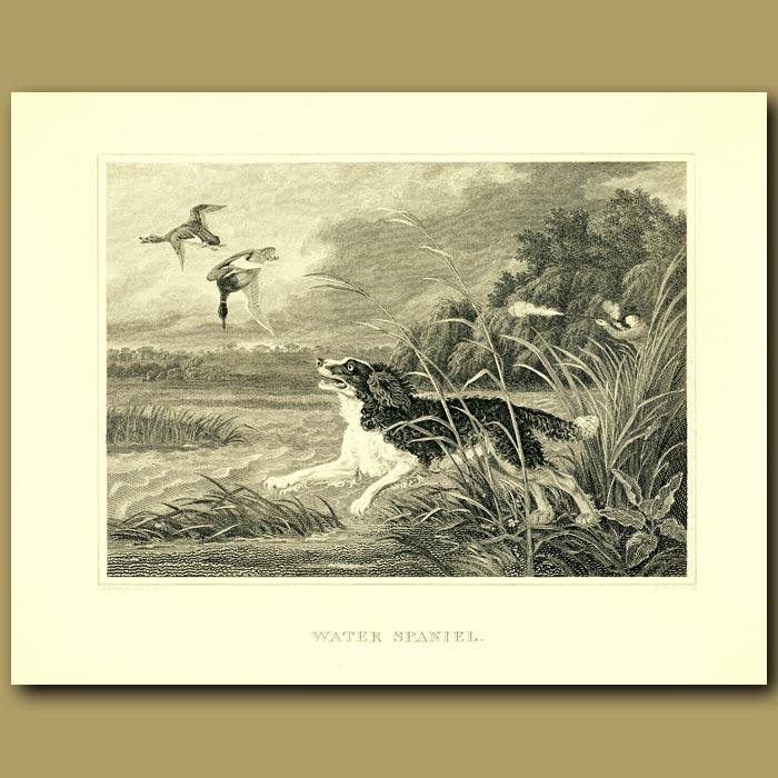 Antique print. Water Spaniel