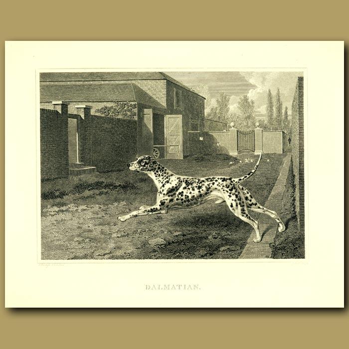 Antique print. Dalmation