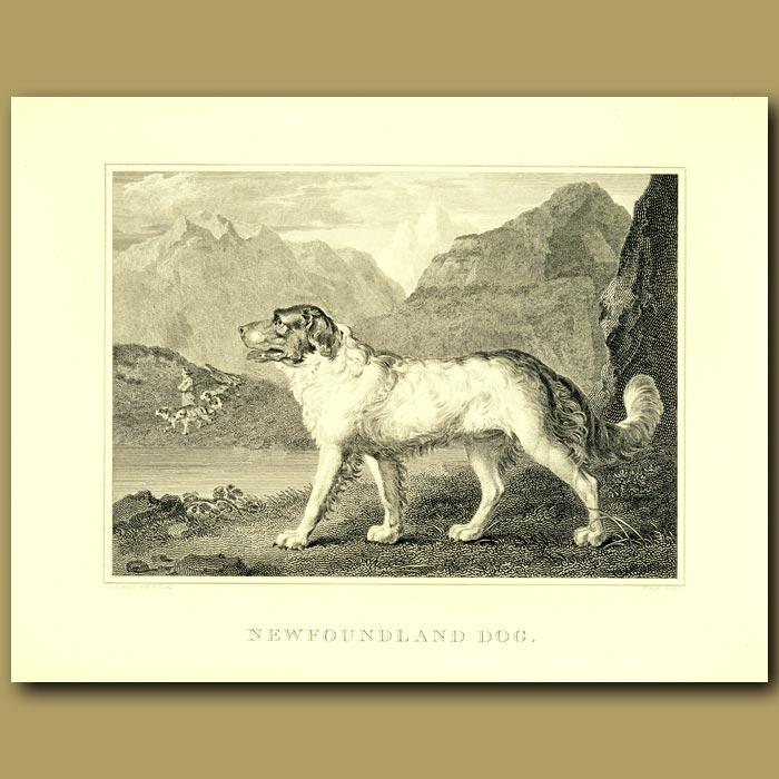 Antique print. Newfoundland Dog
