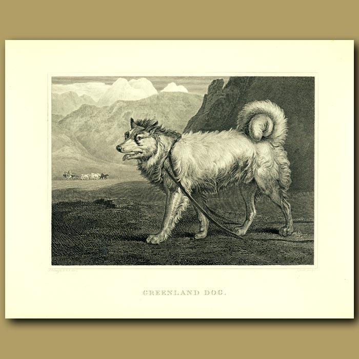 Antique print. Greenland Dog (Husky)