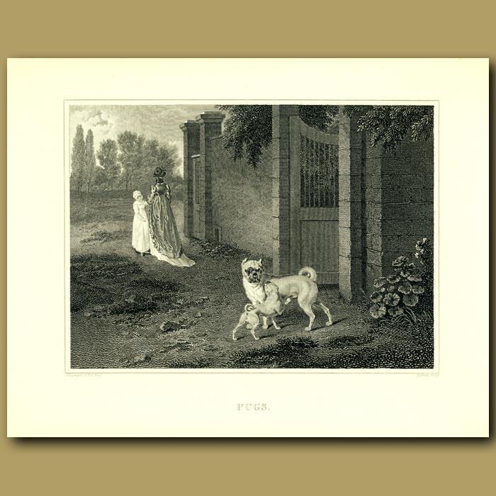 Antique print. Pugs