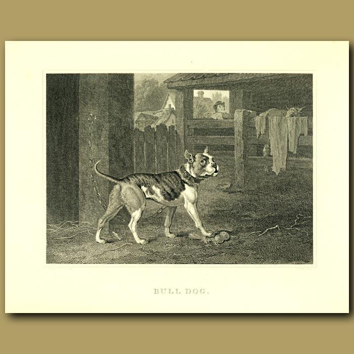 Antique print. Bull Dog