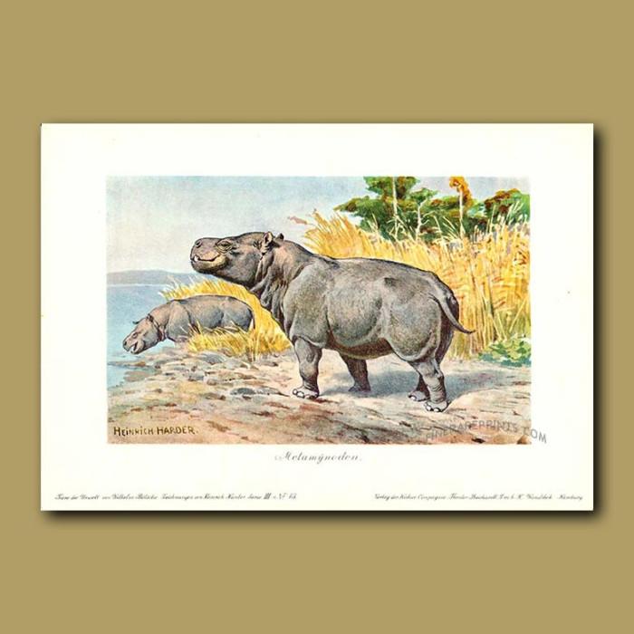 Antique print. Metamynodon (Prehistoric Hippo)