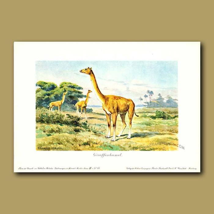 Antique print. Aepycamelus (Prehistoric Giraffe)