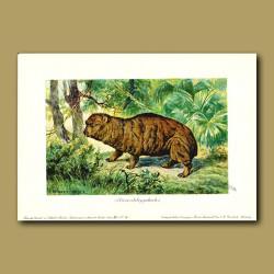 Giant Hyrax