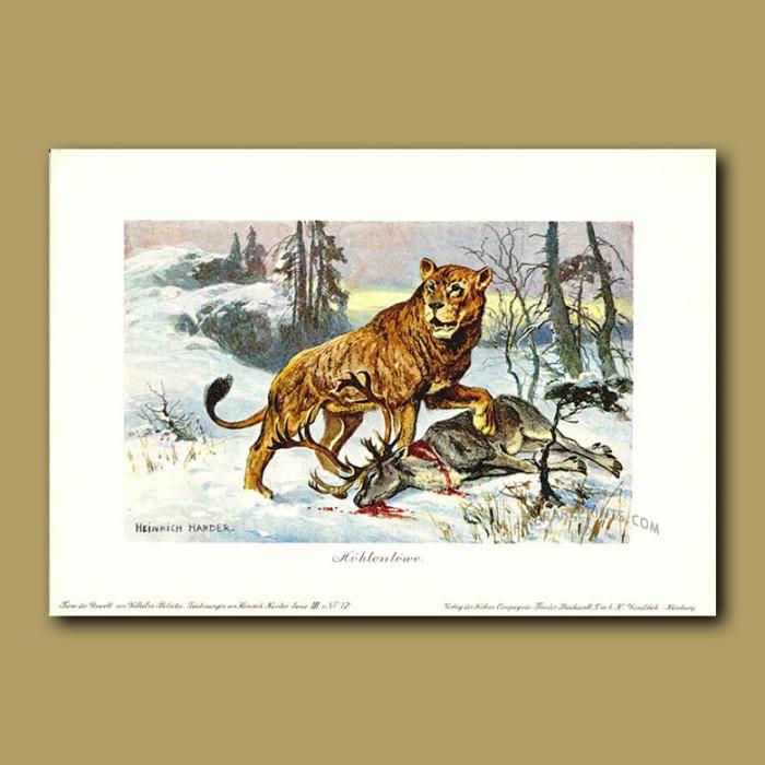 Antique print. Cave Lion