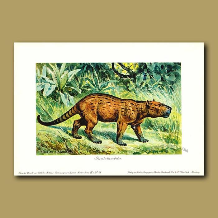 Antique print. Pantolambda(Prehistoric Cat)