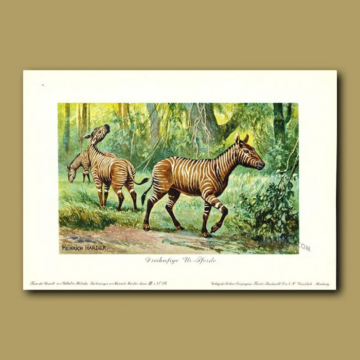 Antique print. Three-toed Horse