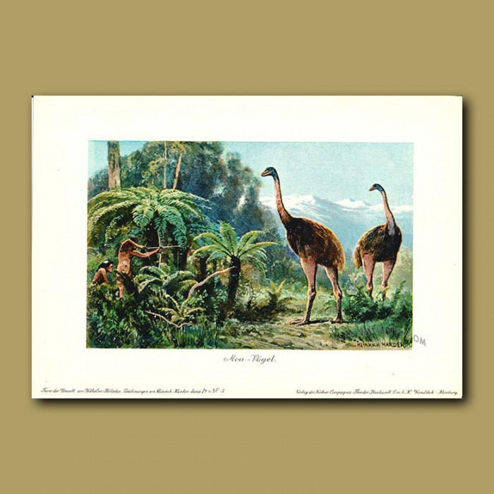 Antique print. Moa with ancient Maori hunting them