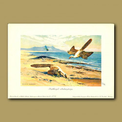 Archaopteryx  (The Feathered Dinosaur)
