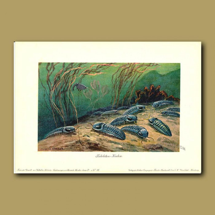 Antique print. Trilobytes