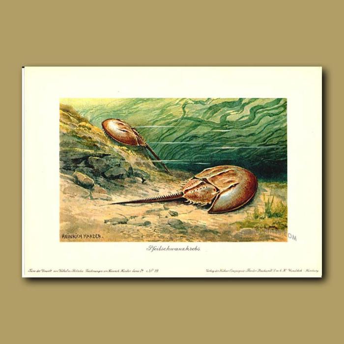 Antique print. Horse-shoe Crabs