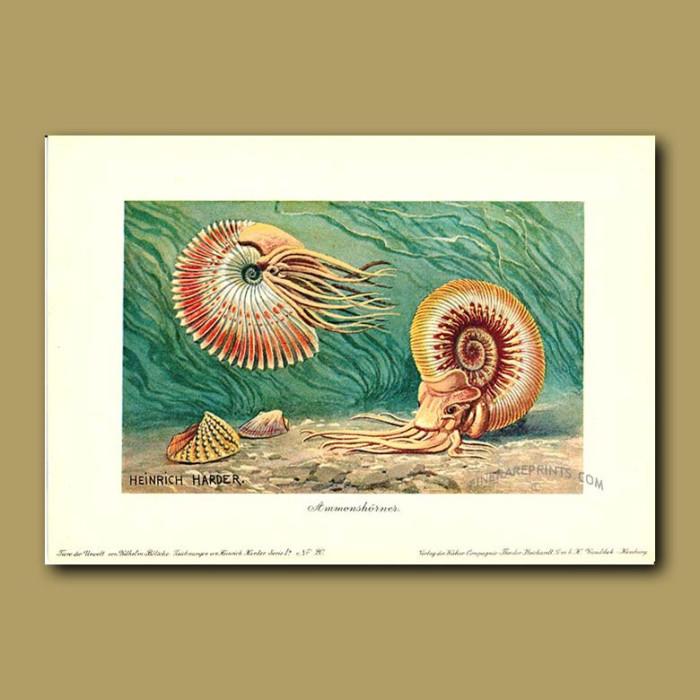 Antique print. Ammonite