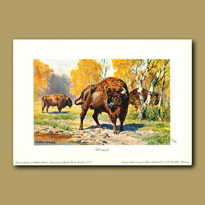 Antique print. European bison