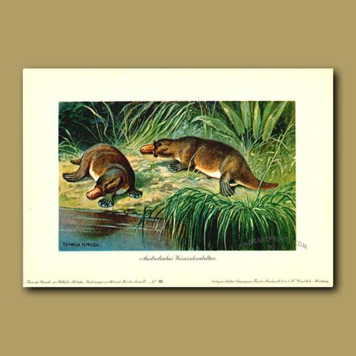 Antique print. Duck-billed Platypus