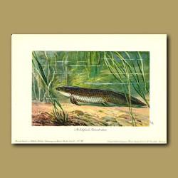 Ceratodus - lung fish