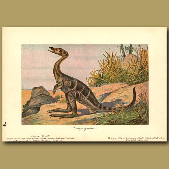 Antique print. Compsognathus