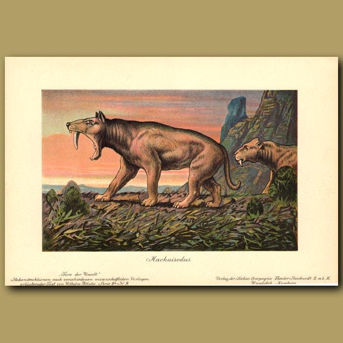 Antique print. Prehistoric Sabre-tooth cat