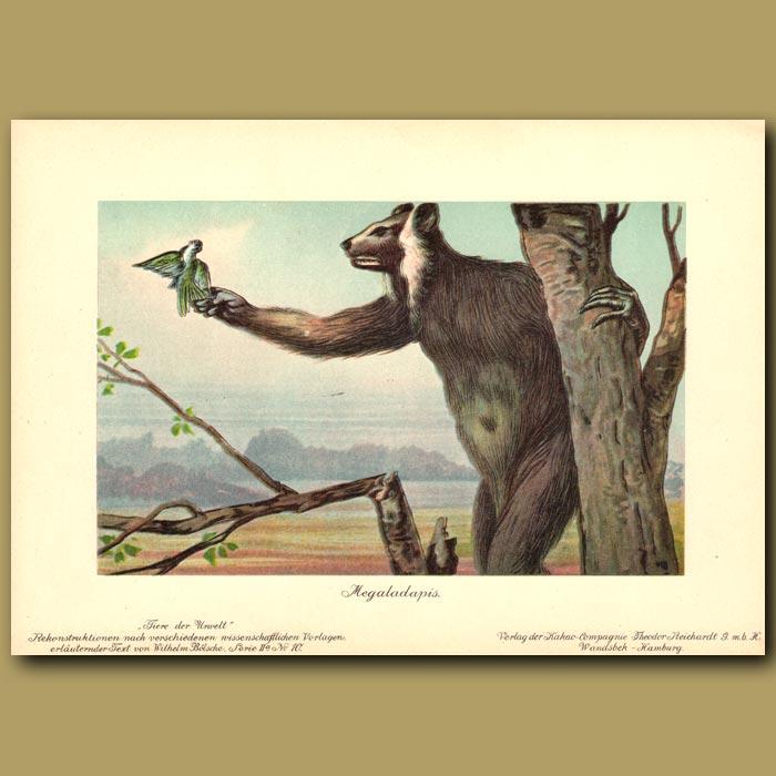 Antique print. Prehistoric Koala Lemur
