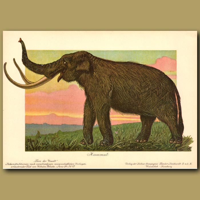 Antique print. Woolly Mammoth