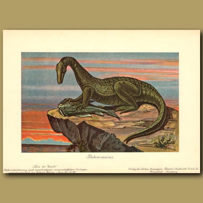 Antique print. Protorosaurus